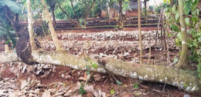 PROJET DE RECAPITALISATION AGRICOLE DANS LA VILLE DE BEAUMONT EN HAITI